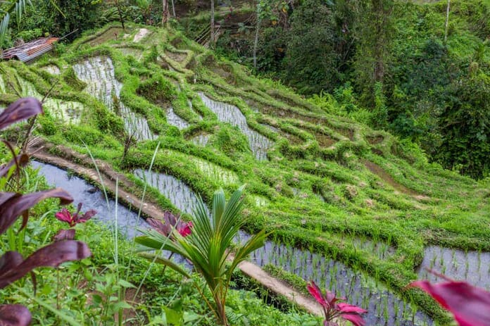 Tegalalang Rice Terrace - What to Photograph in Bali