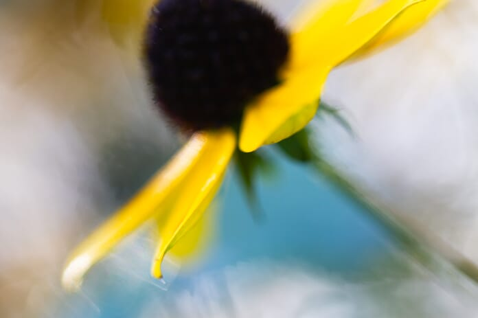 black eyed susan abstract