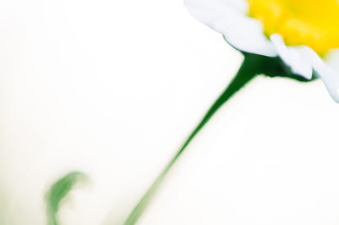 daisy abstract
