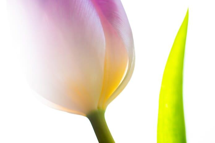 high-contrast tulip