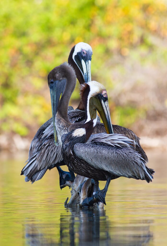 edited photo of pelicans on a log