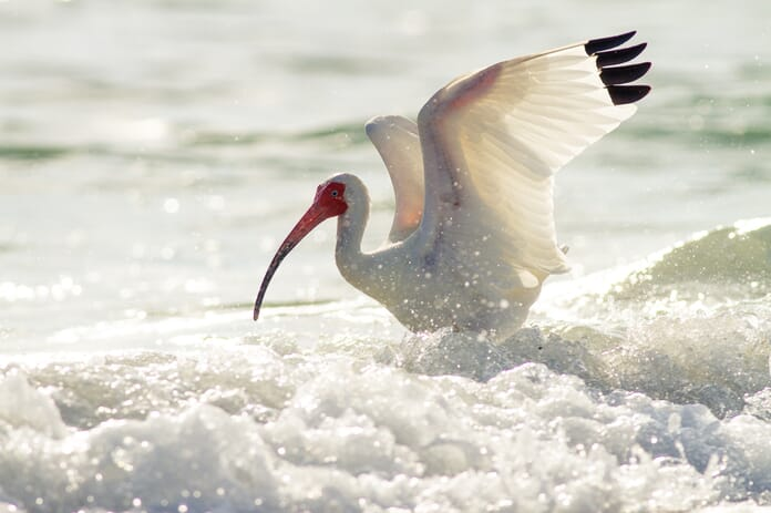 ibis wing flap edit photos