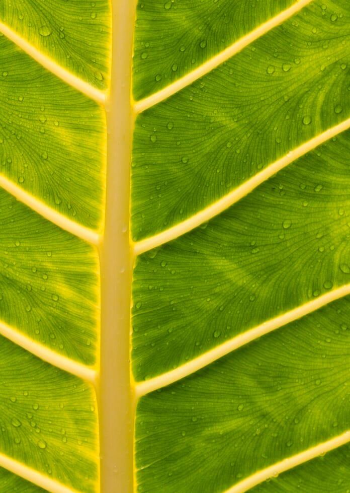 straightened leaf