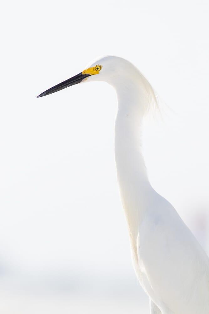 snowy egret good ISO choice