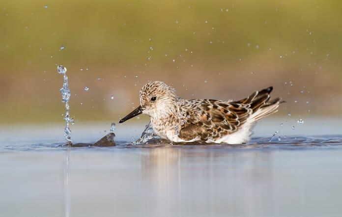 sanderling in water with fast shutter speed