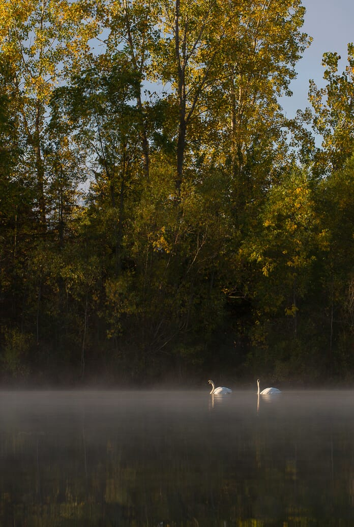 landscape photography swans on lake
