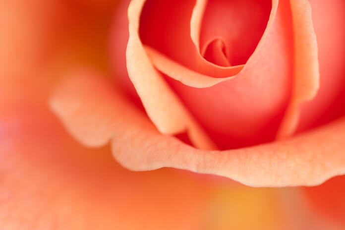 learn photography macro style image of a rose