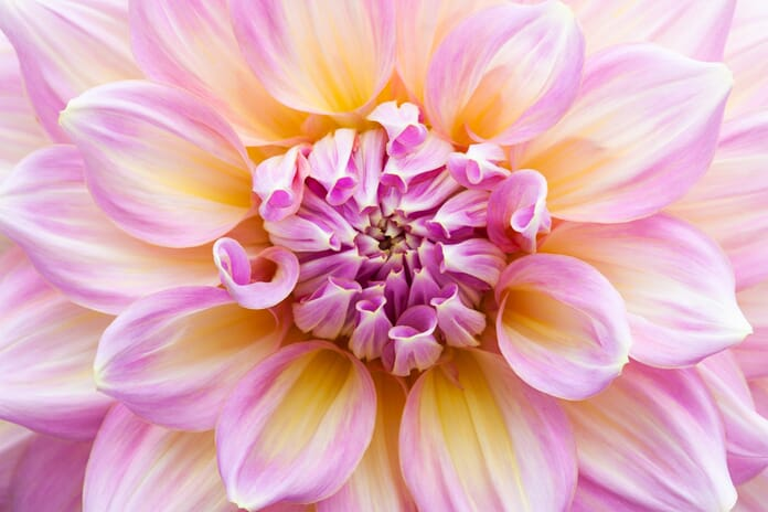 dahlia macro photography ideas