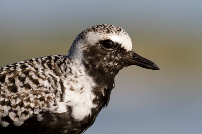 black bellied plover close up