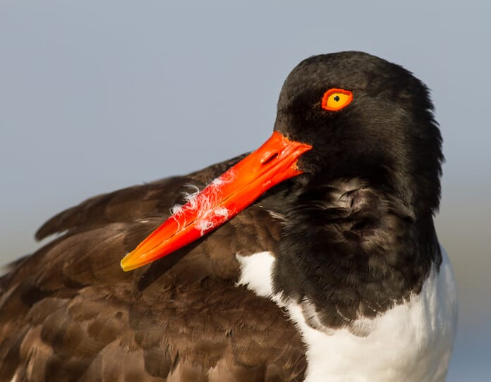 american oystercatcher close up