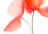 poppy abstract macro