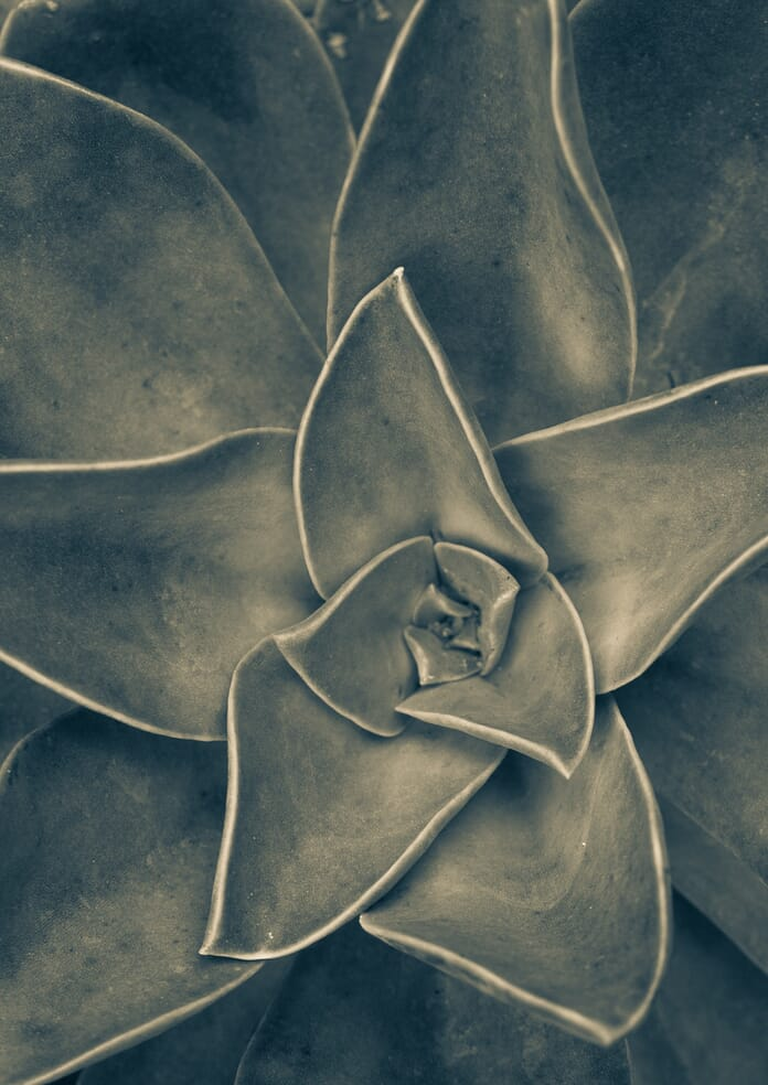 succulent black and white