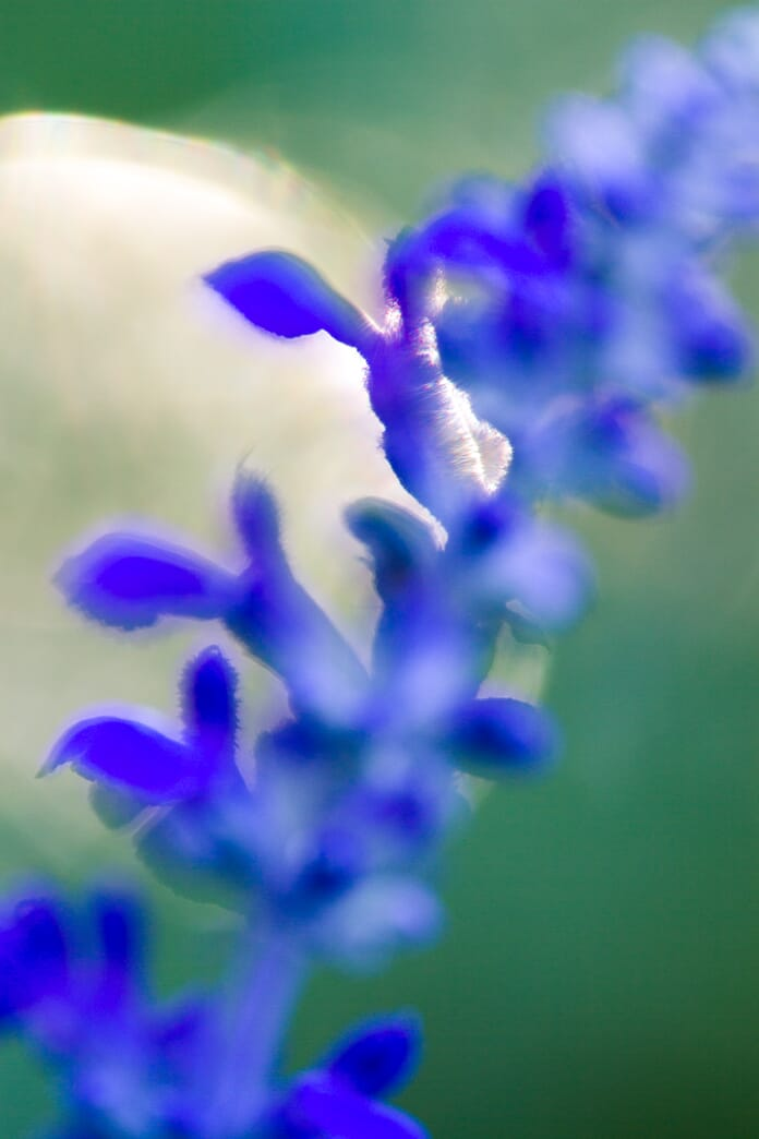 backlit blue flower