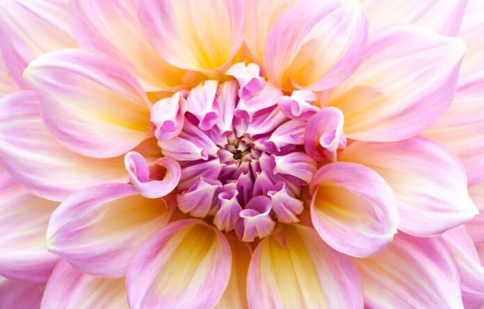 dahlia macro close-up