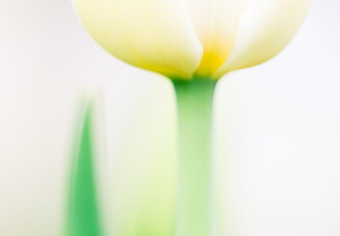 tulip abstract macro lighting